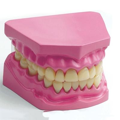 牙齿模型图